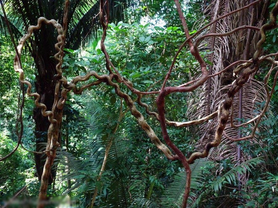 ротанговая пальма, ротанговое дерево, ротанговая лиана, лиановидная пальма